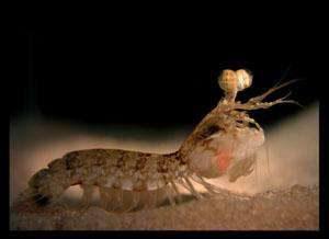 shrimp vision
